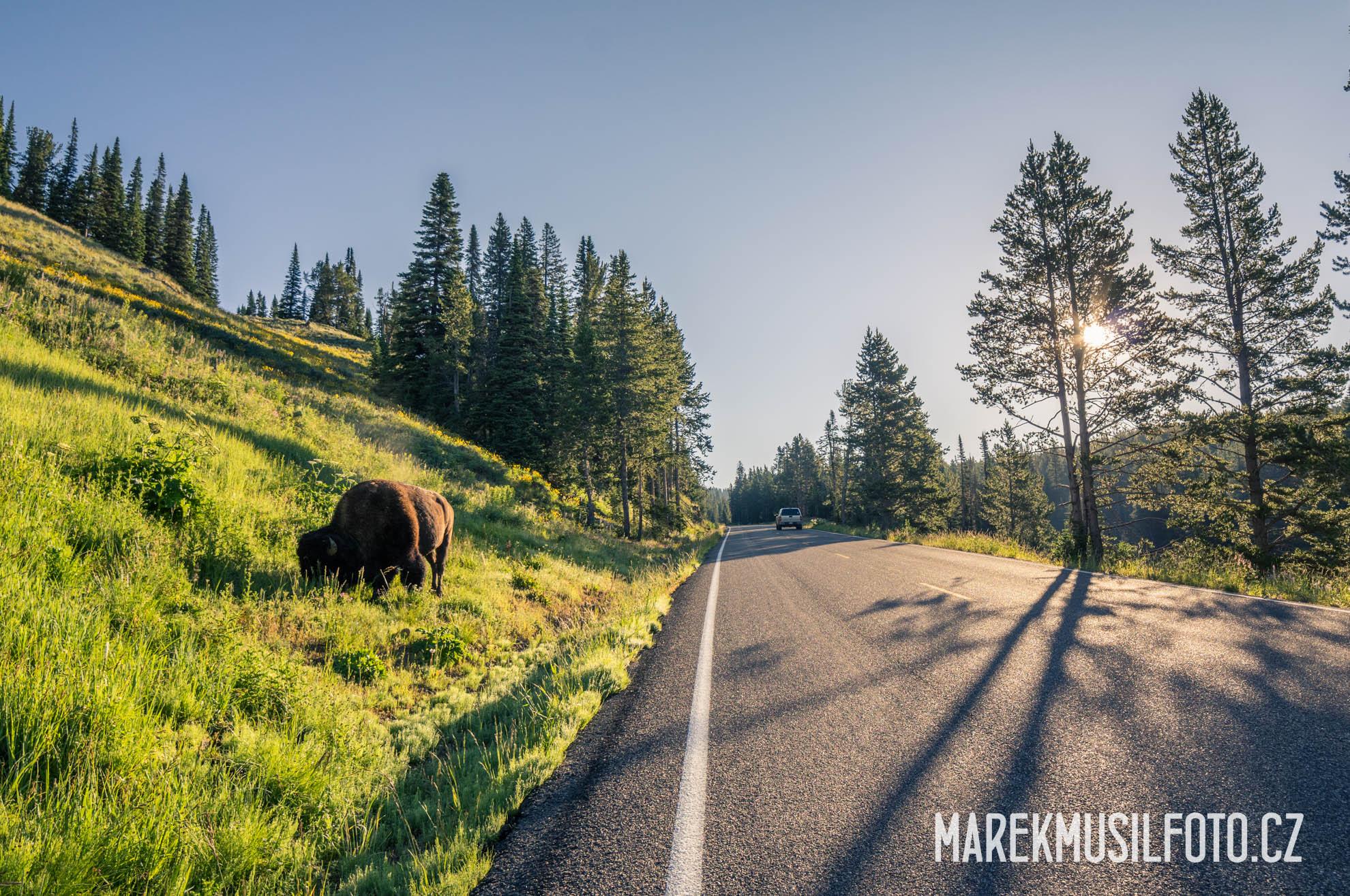 Cesta po USA - Yellowstone bison