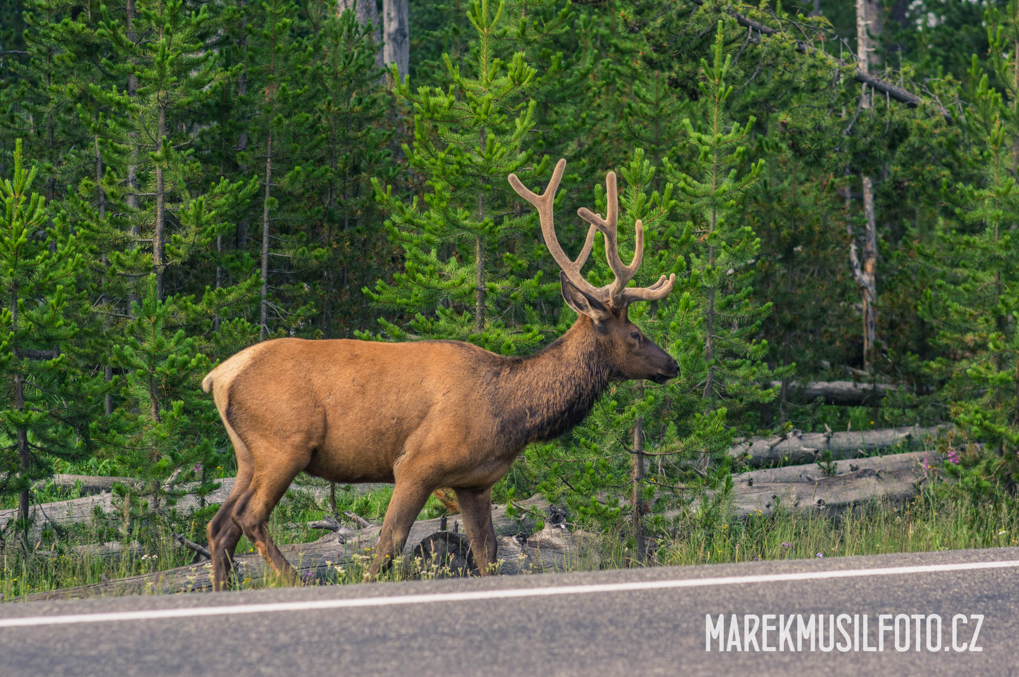 Cesta po USA - Yellowstone Elk