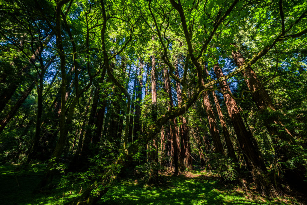 Blog z USA 2016 - Muir Woods