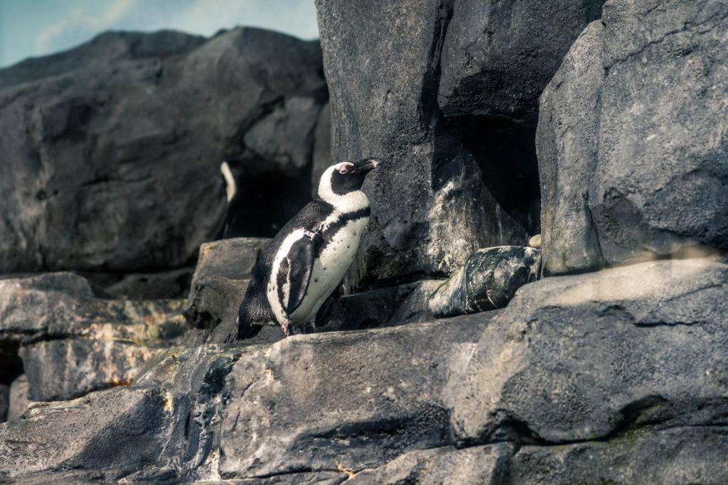 Blog z USA 2016 - Monterey akvárium - tučňáci